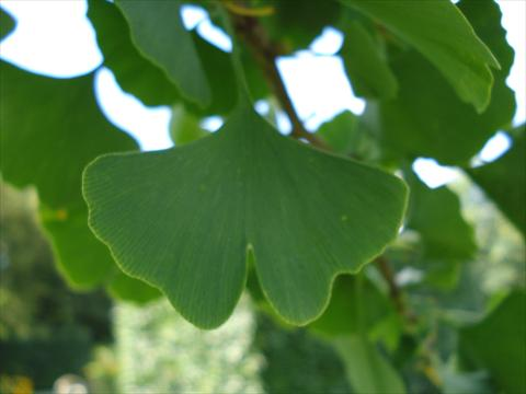 maidenhair-tree